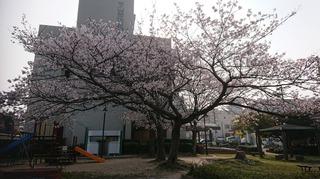桜h.31.1.jpg